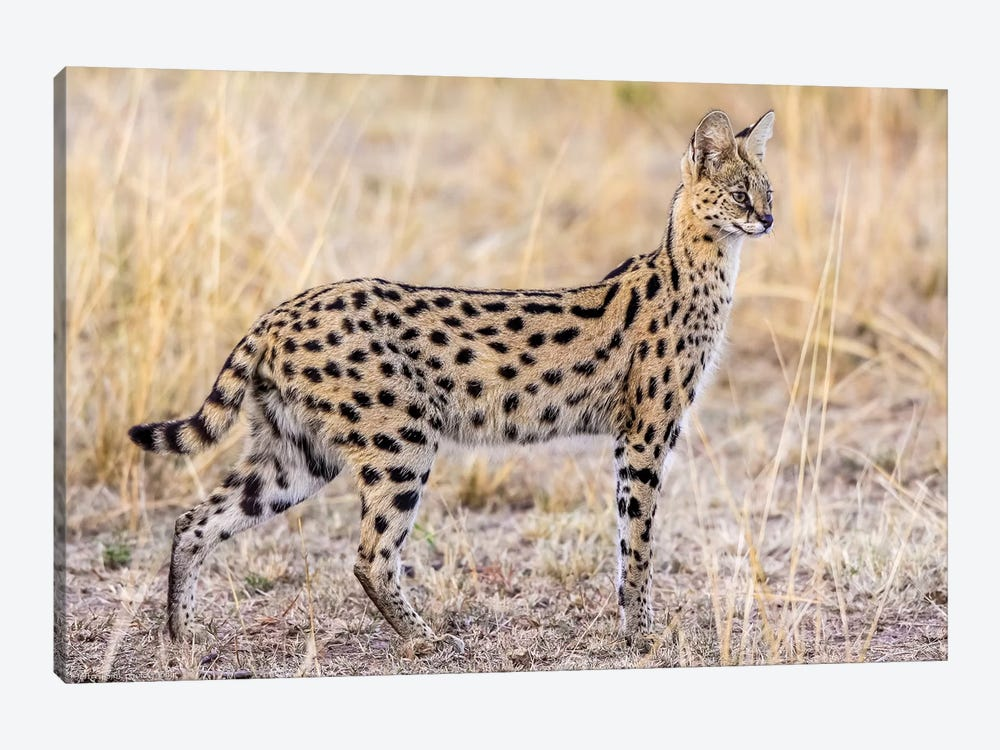 Serval Hunting by Jeffrey C. Sink 1-piece Canvas Print