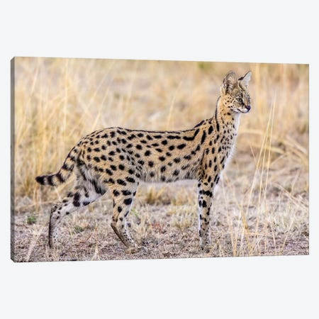Serval Hunting Canvas Print #OXM3631} by Jeffrey C. Sink Canvas Wall Art