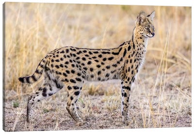 Serval Hunting Canvas Art Print