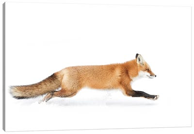 Red Fox On The Run - Algonquin Park Canvas Art Print