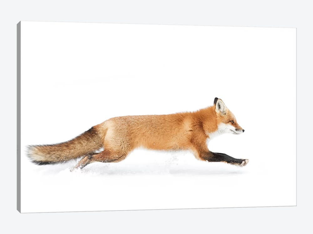 Red Fox On The Run - Algonquin Park by Jim Cumming 1-piece Canvas Wall Art