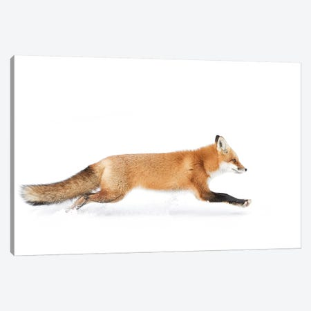Red Fox On The Run - Algonquin Park Canvas Print #OXM3641} by Jim Cumming Art Print