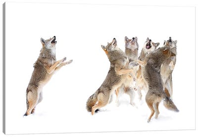 The Choir - Coyotes Canvas Art Print
