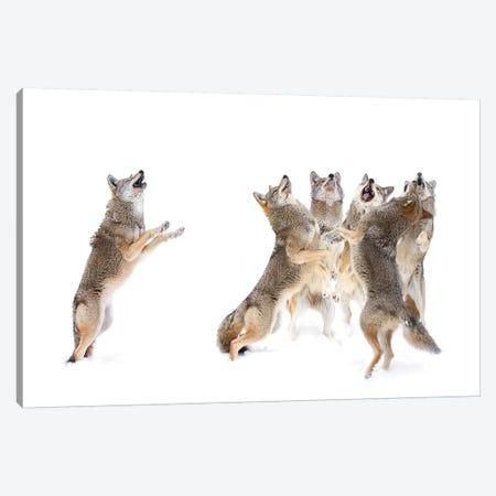The Choir - Coyotes Canvas Print #OXM3642} by Jim Cumming Canvas Print