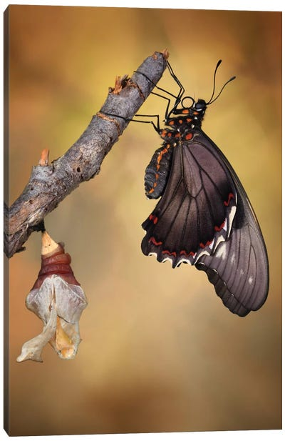 Birth Of A Swallowtail Canvas Art Print