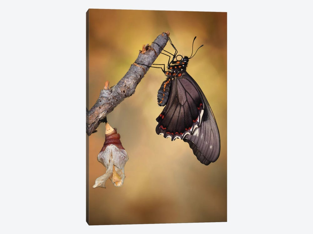 Birth Of A Swallowtail by Jimmy Hoffman 1-piece Canvas Art