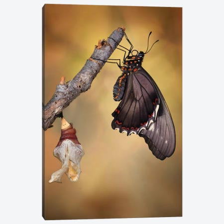 Birth Of A Swallowtail 3-Piece Canvas #OXM3643} by Jimmy Hoffman Canvas Art Print