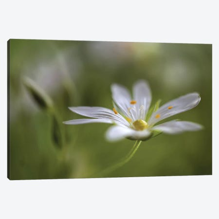 Stitchwort Canvas Print #OXM3767} by Mandy Disher Art Print