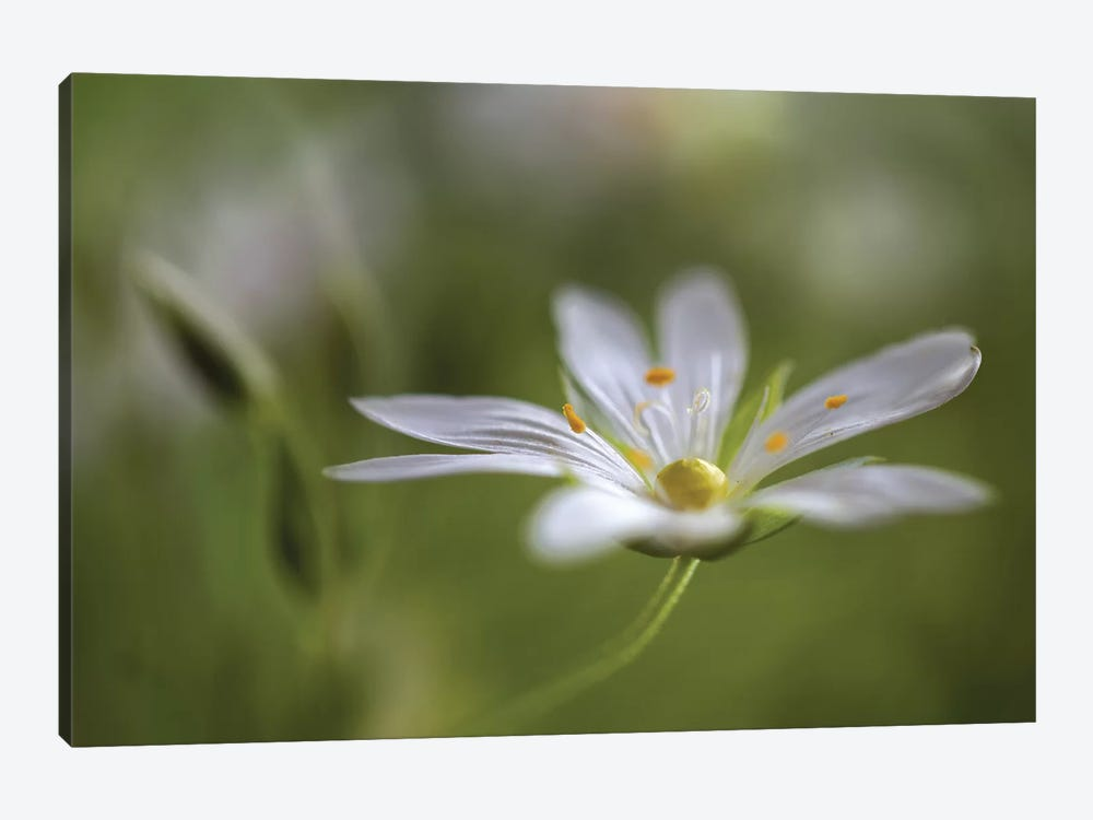 Stitchwort by Mandy Disher 1-piece Canvas Print