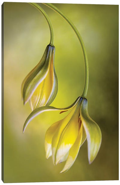 Tulipa Canvas Art Print