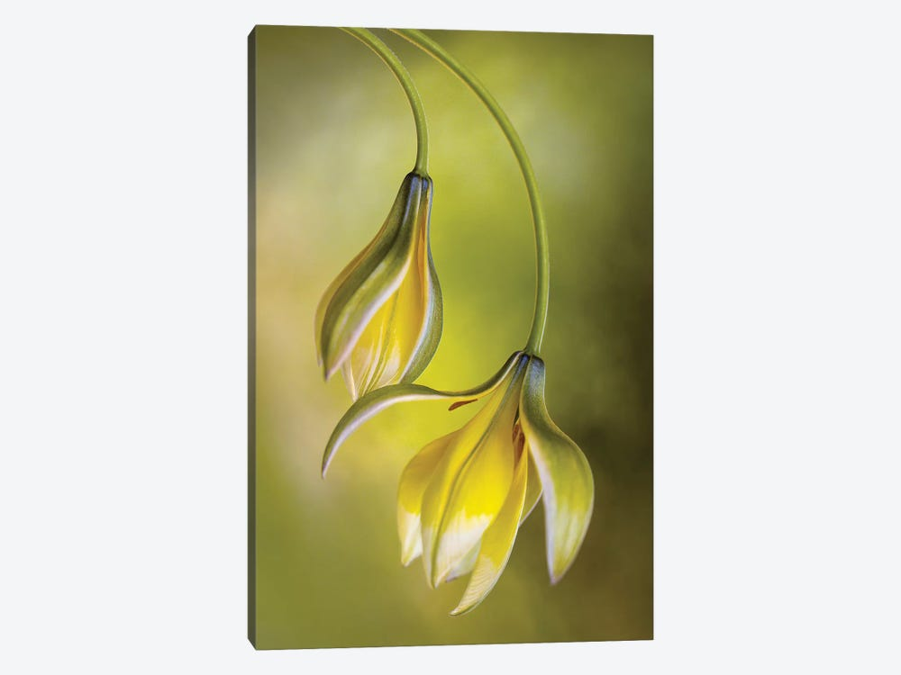 Tulipa by Mandy Disher 1-piece Canvas Art Print