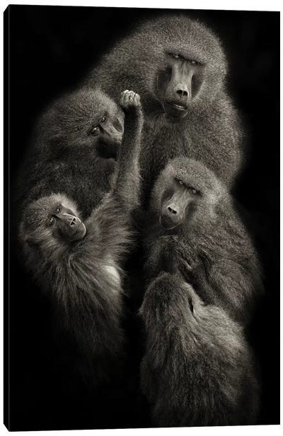 "Baboons ""United"" Canvas Art Print"