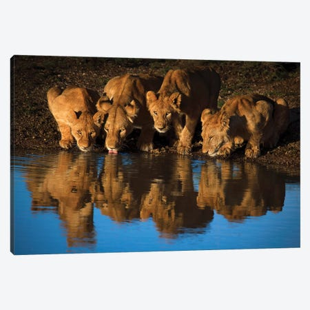 Lions Of Mara Canvas Print #OXM3792} by Mario Moreno Canvas Print