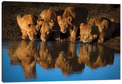 Lions Of Mara Canvas Art Print