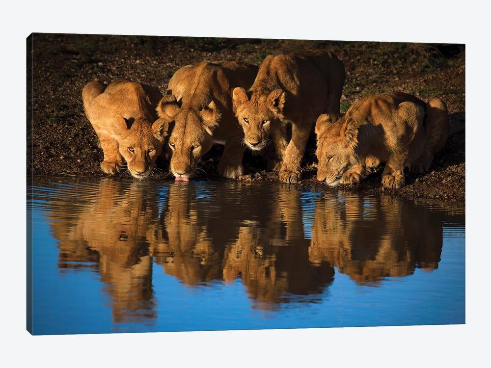 Lions Of Mara by Mario Moreno 1-piece Canvas Print