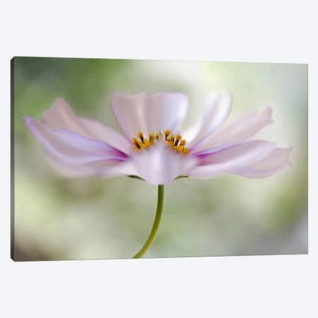 Cosmos II Canvas Print #OXM380} by Mandy Disher Canvas Print