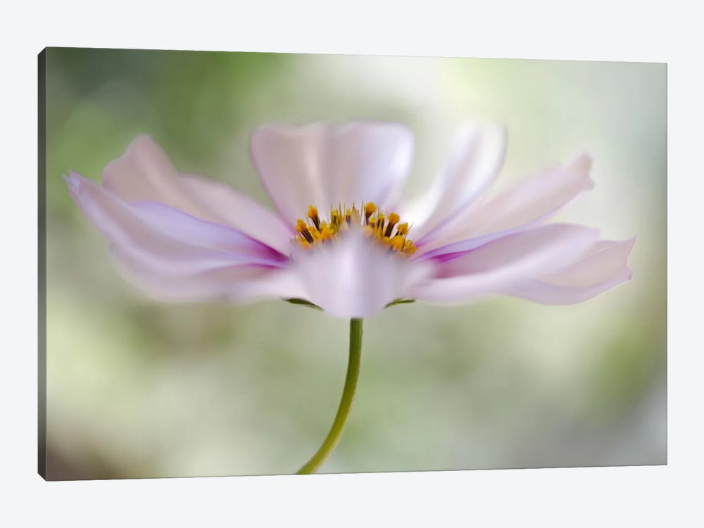 Cosmos II by Mandy Disher 1-piece Canvas Print
