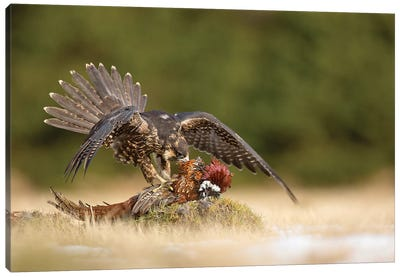 Peregrine Falcon Canvas Art Print