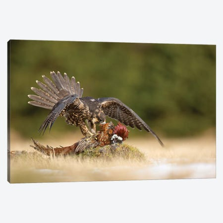 Peregrine Falcon Canvas Print #OXM3853} by Milan Zygmunt Canvas Art