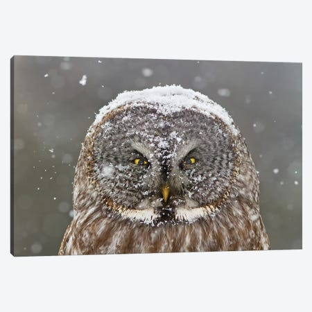 Great Grey Owl, Winter Canvas Print #OXM3856} by Mircea Costina Canvas Art Print