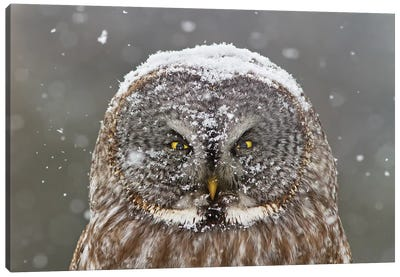 Great Grey Owl, Winter Canvas Art Print
