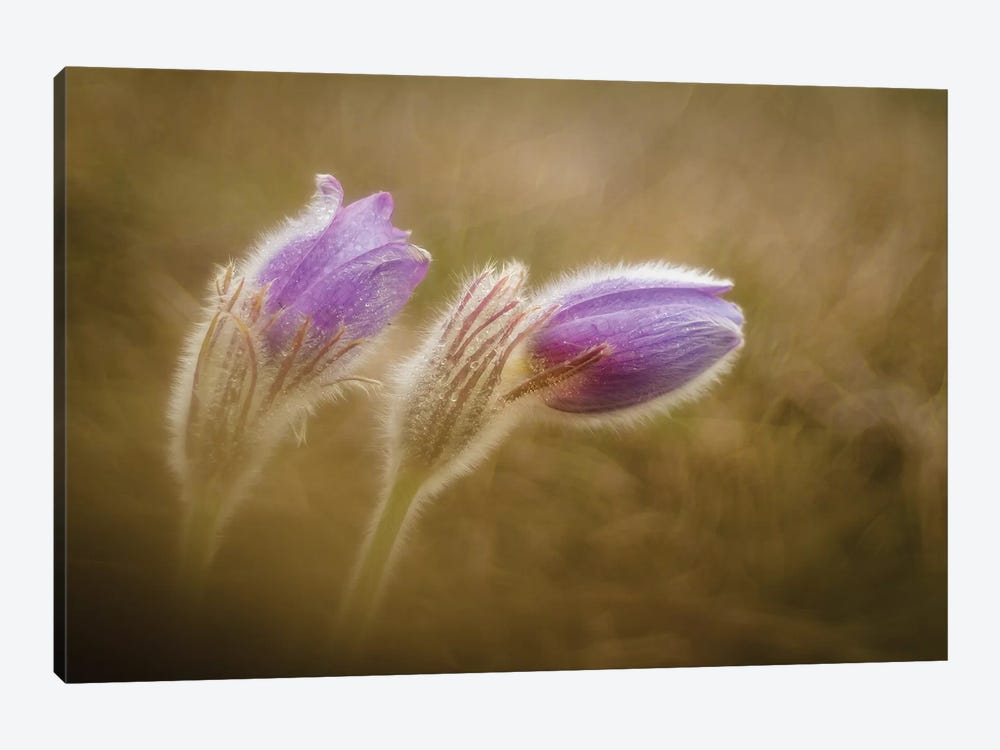 Pulsatilla Pratensis by Photozo 1-piece Art Print