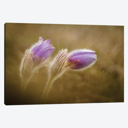 Pulsatilla Pratensis Canvas Print #OXM3933} by Photozo Canvas Art Print