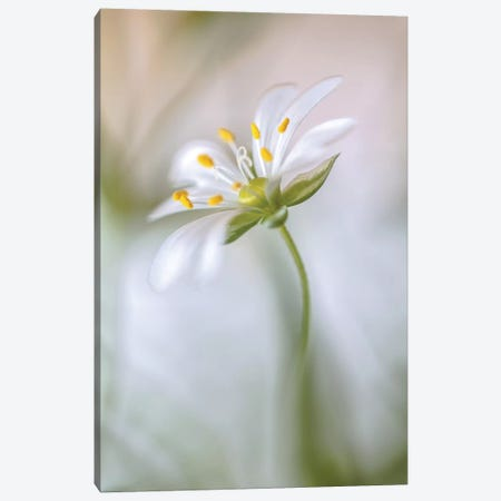 Stitchwort Soft Canvas Print #OXM3} by Mandy Disher Canvas Art