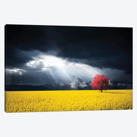 A Red Tree In The Canola Meadow Canvas Print #OXM4189} by Bess Hamiti Art Print