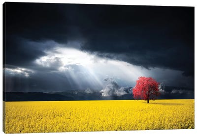 A Red Tree In The Canola Meadow Canvas Art Print