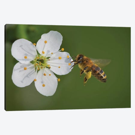 Bee On A Flower, The Pear Blossoms Canvas Print #OXM4195} by Bess Hamiti Canvas Print