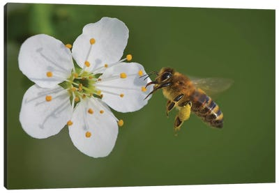 Bee On A Flower, The Pear Blossoms Canvas Art Print