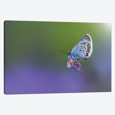 Butterfly II Canvas Print #OXM4196} by Bess Hamiti Canvas Art Print