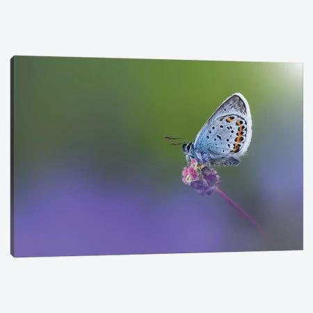 Butterfly II Canvas Print #OXM4196} by Bess Hamiti Canvas Art Print