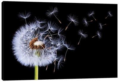 Dandelion Blowing I Canvas Art Print
