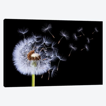 Dandelion Blowing I Canvas Print #OXM4198} by Bess Hamiti Canvas Wall Art