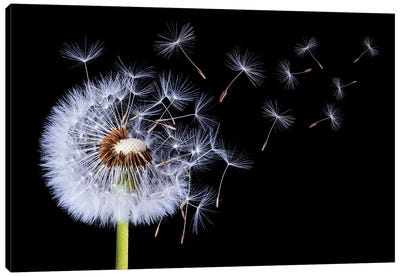 Dandelion Blowing I Canvas Art Print