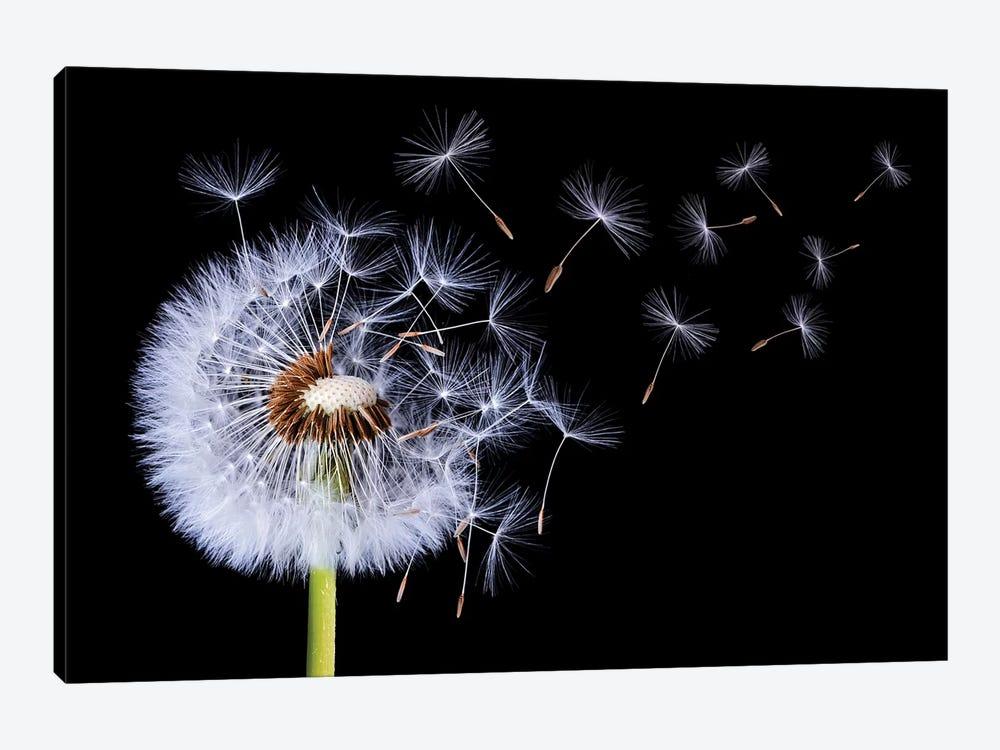 Dandelion Blowing I by Bess Hamiti 1-piece Art Print