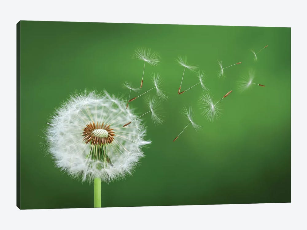 Dandelion Blowing II 1-piece Canvas Art
