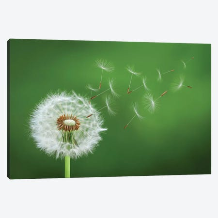Dandelion Blowing II Canvas Print #OXM4199} by Bess Hamiti Canvas Wall Art