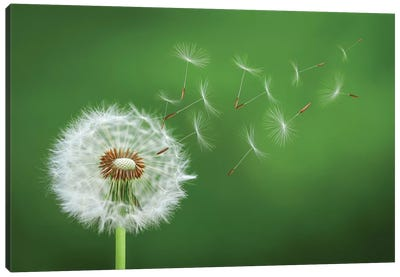 Dandelion Blowing II Canvas Art Print