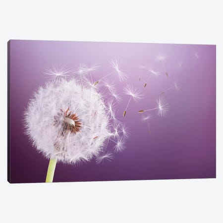Dandelion Flying Canvas Print #OXM4200} by Bess Hamiti Canvas Wall Art