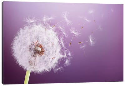 Dandelion Flying Canvas Art Print