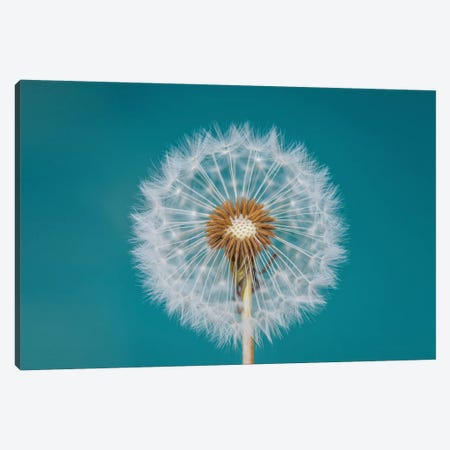 Dandelion Canvas Print #OXM4273} by Bess Hamiti Canvas Art Print