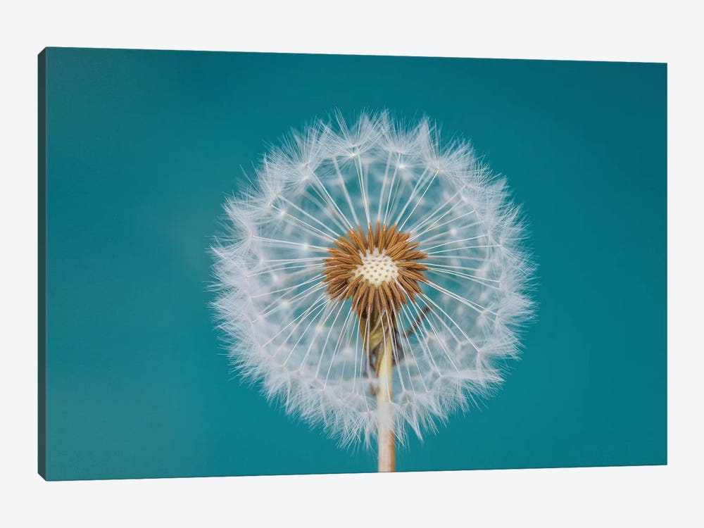 Dandelion by Bess Hamiti 1-piece Canvas Artwork