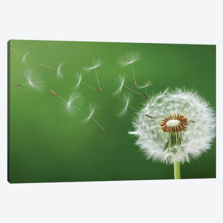 Dandelion Blowing Canvas Print #OXM4274} by Bess Hamiti Canvas Artwork