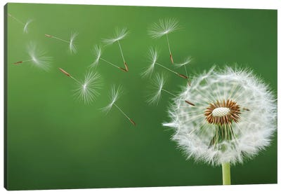 Dandelion Blowing Canvas Art Print