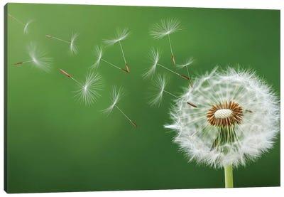 Dandelion Blowing Canvas Art Print
