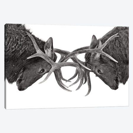 Eye To Eye Elk fight Canvas Print #OXM4357} by Jim Cumming Art Print