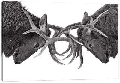 Eye To Eye Elk fight Canvas Art Print